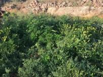 Midyat'ta Bin 264 Kök Kenevir Ele Geçirildi