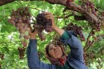 GREV - Yılın İlk Üzüm Hasadı Üreticiyi Memnun Etti