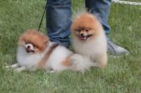 DÖVME - 42 Farklı Irktan 180 Köpek Kıyasıya Yarıştı