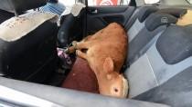 BAŞKÖY - Hastalanan Buzağı Veterinere Otomobille Taşındı