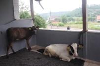 SU TAŞKINI - Ahırı Su Basınca Hayvanları Evinin Balkonlarına Taşıdı
