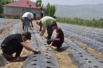 DOĞAL ÜRÜN - Muş'ta Devlet Desteğiyle 200 Çilek Bahçesi Kuruldu