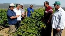 RAMAZAN CAN - Gaziantep'te Üzüm Bağlarında Mildiyö Hastalığı