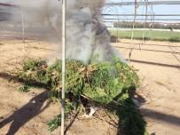 ADANALıOĞLU - Serada Yetiştirilen Kenevirler Yakılarak İmha Edildi