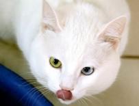 YÜZÜNCÜ YıL ÜNIVERSITESI - Van kedileri 'özel havuzlar'da yüzecek