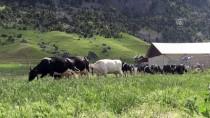 Avrupa'daki Yüksek Vergiden Kaçtı, Türkiye'de Sütçü Oldu