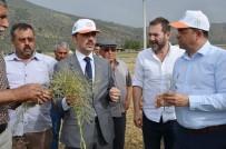 EREN ARSLAN - Milas'ta 'Ot Tipi Yem Şalgamı' Tarla Gününde Tanıtıldı