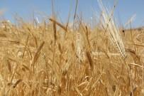 MEHMET GÜNEŞ - Yılın İlk Buğdayı GTB'de İşlem Gördü