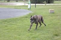 SOKAK HAYVANI - Kusuru Yüzünden Terk Edilen Cins Köpek Barınakta Bakılıyor