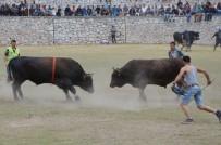 BOĞA GÜREŞİ - Boğalar Milas Arena'da Güreşti