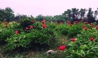 'Kan Çiçekleri'ne Ziyaretçi Akını