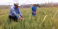 Çiftçiler Tohumluk Buğday İçin Tarlasındaki Çavdarı Temizliyor