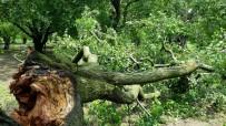 Sağanak Yağış Ve Fırtına Erik Ağaçlarına Zarar Verdi