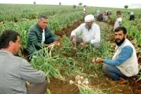 MEHMET DOĞAN - Sarımsak Hasadında 15 Bin Tarım İşçisine İş İmkanı