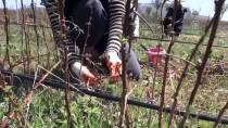 UKRAYNA - Ahududu Bahçesinin 'Yabancı Gelinleri'
