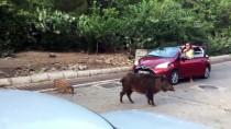 YABAN DOMUZU - Aç Kalan Yaban Domuzları Marmaris Şehir Merkezinde Yiyecek Aradı
