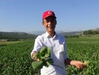 LİSE ÖĞRENCİSİ - Kale'deki Tütün Üreticilerin 'Mozaik Virüsü' Çilesi
