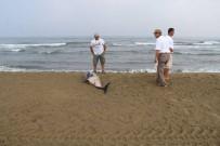 YUNUSLAR - Pamucak Sahilinde Ölü Yunus Bulundu