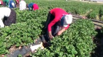 TONAJ - Mevsimlik İşçiydi Çilek Üreticisi Oldu