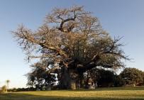 NAMIBYA - Afrika'da Birkaç Bin Yaşındaki 13 Ağacın 9'U Yok Oldu