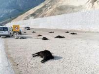 Karaman'da Katkı Maddesi İçen 22 Küçükbaş Hayvan Telef Oldu