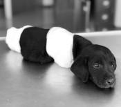 EVCİL HAYVAN - 4 ayağı kesilen köpek kurtarılamadı!