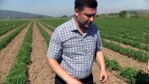 Domates Üreticilerine 'Feromon Tuzağı' Desteği