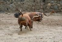 BOĞA GÜREŞİ - Rize'de Boğalar Kıyasıya Yarıştı