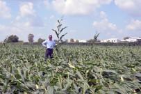 TARIM SİGORTASI - Adana'da Hortum Tarım Alanlarına Zarar Verdi