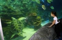 KARANTINA - Avrupa Akvaryumlarındaki En Büyük Deniz Kaplumbağalarından Iggy İstanbul'da