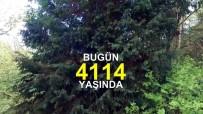 MURAT YıLDıZ - Dünyanın En Yaşlı Ağacını Dünyaya Tanıttılar