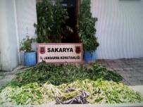 Sakarya'da Bin 117 Kök Kenevir Bitkisi Ele Geçirildi