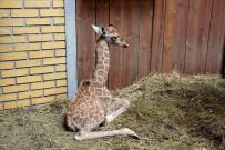 HAYVANAT BAHÇESİ - Yeni Doğan Zürafanın Ayağa Kalkma Savaşı