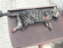 Ayakları kesilmiş kedi yavrusu bulundu!
