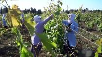'Asma Yaprağı' Üretimine Yönelik Bağcılık Sistemi