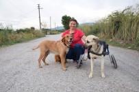 (Özel) Toplanan Bağışlarla Sakat Kalan Köpeğe Yürüteç Aldı