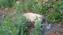 Sürüden Ayrılan Koyunlara Kurtlar Saldırdı, 40'I Telef Oldu