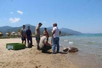 Güzelçamlı Sahilinde Ölü Caretta Caretta Bulundu