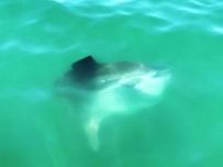 KÖPEK BALIĞI - Fethiye'de 'Ay Balığı' Görenleri Şaşırttı