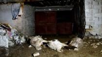 SOKAK KÖPEKLERİ - Karaman'da Sokak Köpeklerinin Koyunları Telef Ettiği İddiası