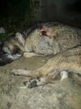 ÇOBAN KÖPEĞİ - Kulübesinde Bağlı Hamile Çoban Köpeği Vurularak Öldürüldü