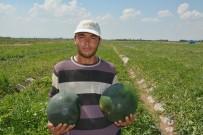 ORGANİK ÜRÜN - Iğdır'da Örtü Altı Karpuz Hasadı Başladı