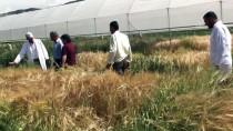 GAZIOSMANPAŞA ÜNIVERSITESI - Kuraklığa Dayanıklı Yeni Arpa Türü Geliştirdiler