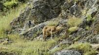 DAĞ KEÇİSİ - Yeni Doğmuş Dağ Keçileri Görüntülendi