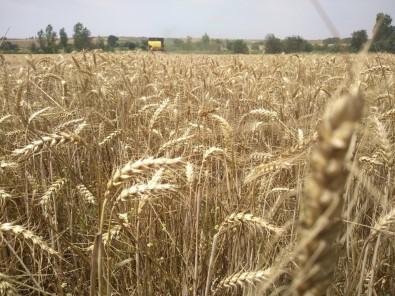 Edirne'de Buğdaylar Tarlada Kaldı