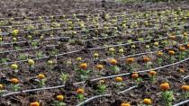 DOĞU AKDENİZ - Osmaniye, Kesme Çiçek Sektörüne İddialı Hazırlanıyor