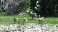 Avlanacak Yaban Keçilerinin İhalesi Yapıldı
