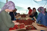KOOPERATIF - Manisa'da Kiraz Üreticisini İhracatçılar Vurdu