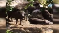 GÜMBET - Site Bahçesine Giren Domuzlar Vatandaşları Tedirgin Etti