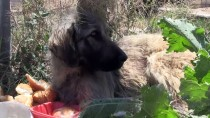KEMERHISAR - Trenin Çarptığı Köpek Barınağa Teslim Edildi